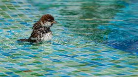 Wild sparrows bathing in shallow swimming pool water royalty free stock image