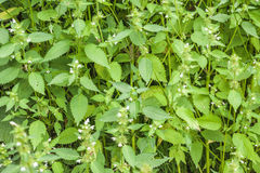 Wild spearmint herb field. In the mountains Royalty Free Stock Photography