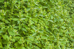 Wild spearmint herb field. In the mountains Stock Photography