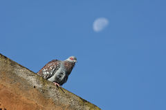 Wild Speckled Pigeon and a Morning Moon. Wild speckled pigeon against a morning sky with the moon still visible, Ngorongoro Crater, Tanzania Royalty Free Stock Images