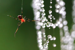 Spider hang upon a dew web. Wild spider hang upon a dew web Royalty Free Stock Image