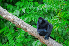 Wild Spider Monkey Stock Photos