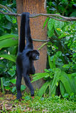 Wild Spider Monkey Stock Images