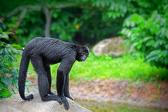Wild Spider Monkey Stock Photo