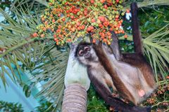A wild spider monkey male hunting for some betel nuts on a betel palm tree. A wild spider monkey male hunting for some betel nuts on a betel palm tree stock images