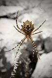 Wild spider on net Royalty Free Stock Photography
