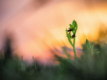 Wild Spider Orchid Royalty Free Stock Photos