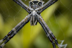 Wild spider waiting for prey Royalty Free Stock Photos