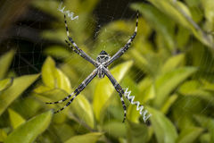 Wild spider waiting for prey Stock Photo