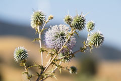 Wild spiky plant. Cyprus. stock photos