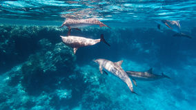 Wild spinner dolphins. In the coral reef Royalty Free Stock Photography