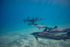 Pod of wild dolphins underwater stock images