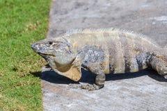 Wild Spiny-tailed iguana, Black iguana, or Black ctenosaur. Green grass background. Riviera Maya, Cancun, Mexico. Wild Spiny-tailed iguana, Black iguana, or royalty free stock photography