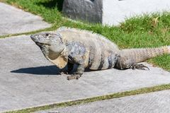 Wild Spiny-tailed iguana, Black iguana, or Black ctenosaur. Riviera Maya, Mexico. Wild Spiny-tailed iguana, Black iguana, or Black ctenosaur. Riviera Maya Royalty Free Stock Photo