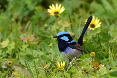 Wild splendid fairy wren. Eating an insect Stock Photography