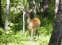 Wild spotted deer in the forest. On a sunny summer day Stock Photography
