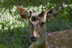 Wild spotted deer in a garden in Bardia, Nepal Stock Image