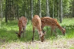 Wild spotted deer grazing Stock Images