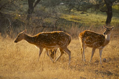Wild spotted deer at Ranthambore National Park. View of two backlit wild spotted deer at Ranthambore National Park in the region of Rajasthan in Northern India Royalty Free Stock Photos