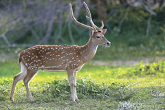 Wild Spotted deer royalty free stock images