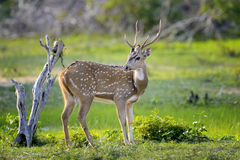 Wild Spotted deer Stock Image