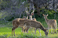 Wild Spotted deer Royalty Free Stock Image
