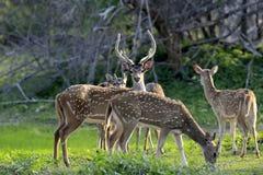 Wild Spotted deer. In Yala National park, Sri Lanka Royalty Free Stock Image