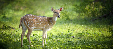 Wild Spotted deer stock images