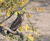 Wild Spotted Eagle-Owl (Bubo africanus) Perched in a Tree Stock Photography