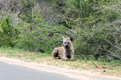 Wild Spotted Hyena posing next to paved road Royalty Free Stock Image