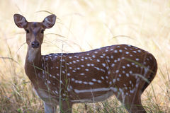 Wild spotter deer. A high resolution image of a wild spotted deer Royalty Free Stock Image