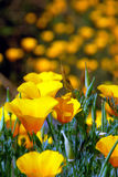 Wild Spring California Poppies in Bloom. Selective Focus Detail of wild Spring California Poppies Royalty Free Stock Image