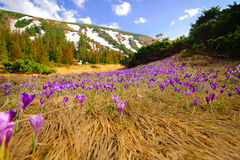 Wild spring crocuses at mountain valley Royalty Free Stock Photography