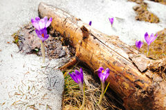 Wild spring crocuses in snow Royalty Free Stock Photos