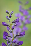 Wild spring flower - blue wild-indigo stock photography