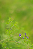 Wild spring flower - blue wild-indigo Stock Photo