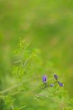 Wild spring flower - blue wild-indigo Stock Photo