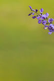 Wild spring flower - blue wild-indigo royalty free stock image