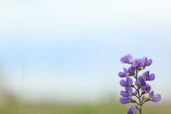 Wild spring flower - blue wild-indigo Royalty Free Stock Photo