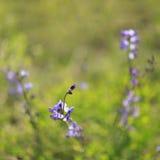 Wild spring flower - blue wild-indigo Royalty Free Stock Images