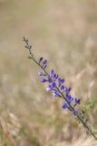 Wild spring flower - blue wild-indigo royalty free stock photography
