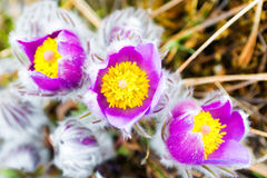 Wild Spring Flowers Pulsatilla Patens Royalty Free Stock Photo