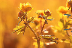Wild spring flowers. In sunset light Royalty Free Stock Photography