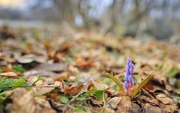 Wild spring violet flowers Stock Images