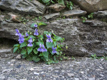 Wild spring violet flowers by old wall. Nature. Dog aka wood vio Stock Photos