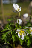 Wild spring wood Anemone (Anemone nemorosa) isolated on background Stock Photography