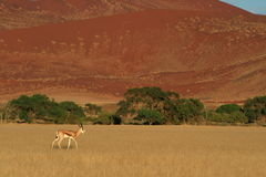 Wild springbok antelope Royalty Free Stock Photos