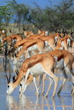 Wild springbok drinking. Several springbok drinking in the namibian desert after some rain fell Royalty Free Stock Photos