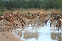 Wild springbok drinking royalty free stock images