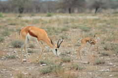Wild springbok gazelle with young Royalty Free Stock Photography